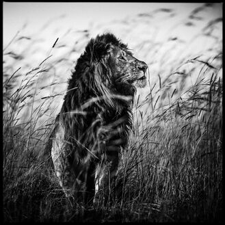 Lion in the Grass I
