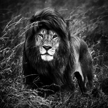 Photo THE BLACK MANED LION 2 - Laurent Baheux
