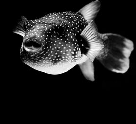 Photo Arothron Hispidus - Nicolas Evariste