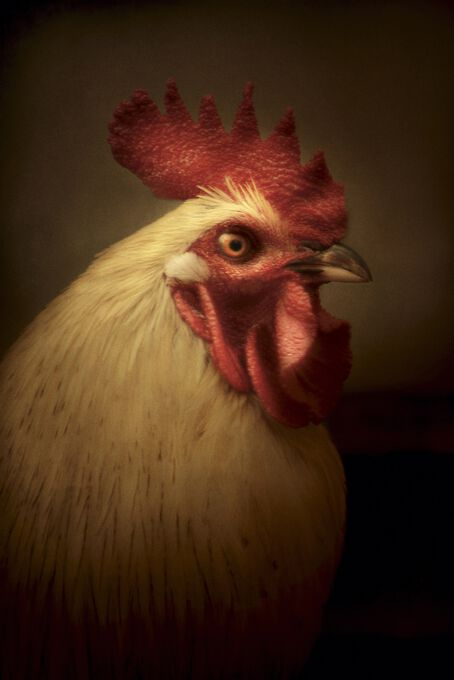 Photo Dorking Rooster - Cally Whitham