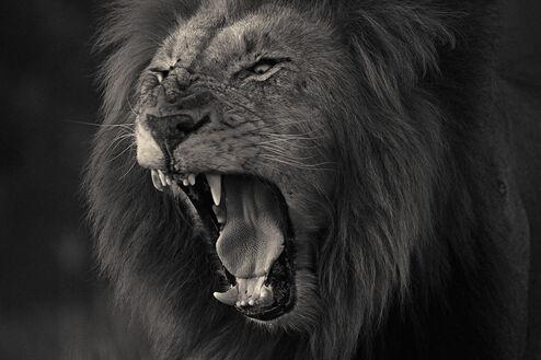 Kruger lion 2