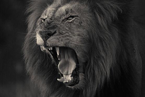 Photo Kruger lion 2 - Antti Viitala