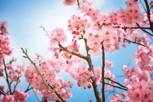 Photo Sakura bloom - Nicolas Jacquet