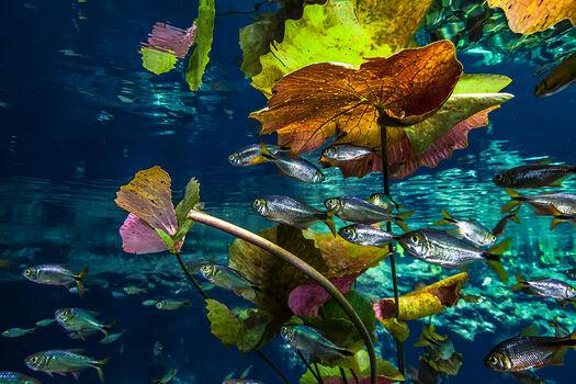 Photo FISHES AND PLANTS AT CENOTE NICTE-HA - Christian Vizl