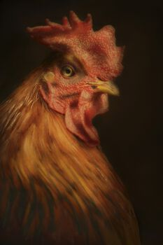 Photo New Hampshire Rooster - Cally Whitham