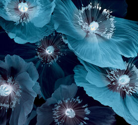 Photo Fleurs De Pavot - Michel Gantner