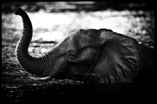 Photo Elephant Crossing the River - Laurent Baheux
