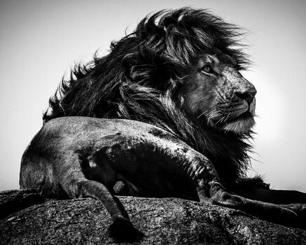 Photo SIMBA LE MAGNIFIQUE - Laurent Baheux