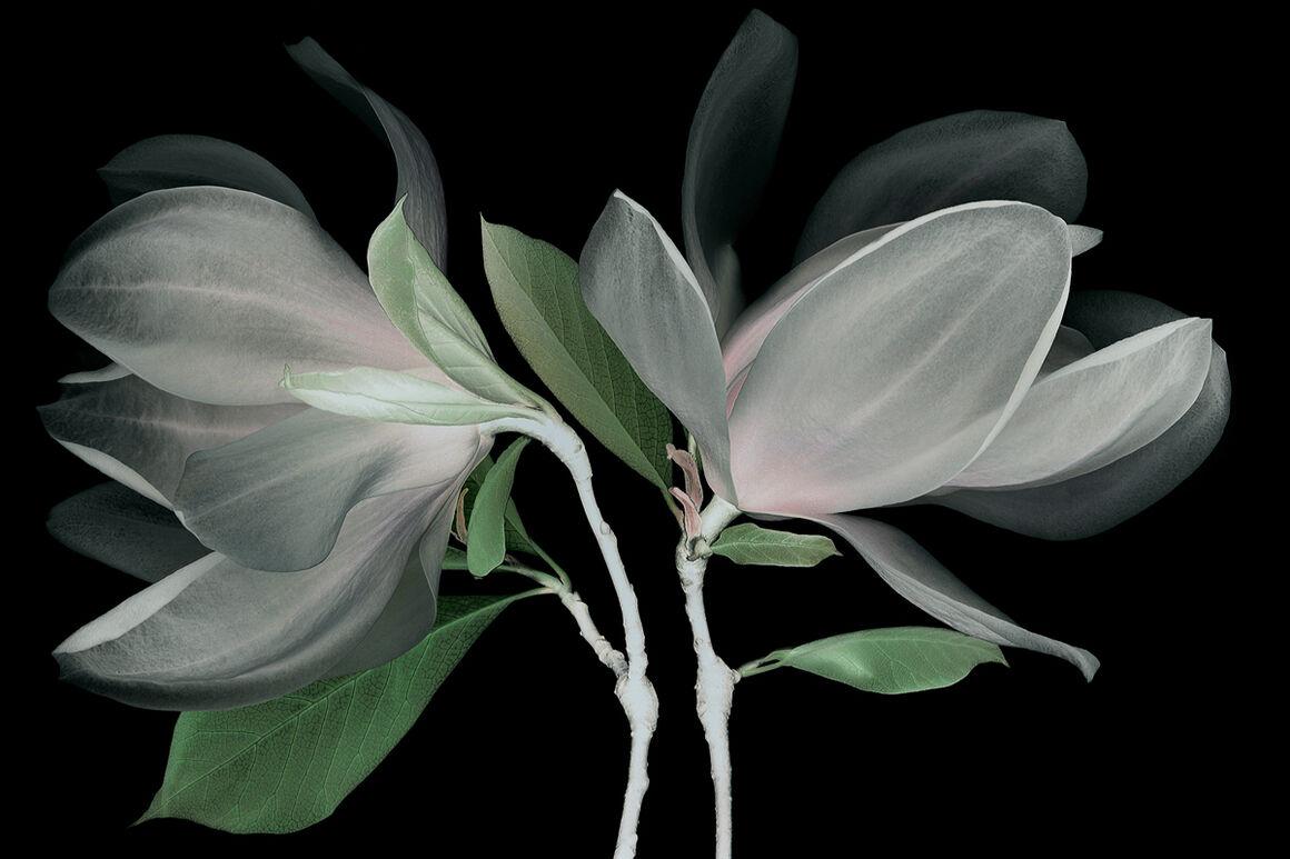 Photograph Fleur De Magnolia Michel Gantner Yellowkorner