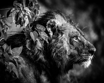 Photo BEFORE THE KILL - Laurent Baheux