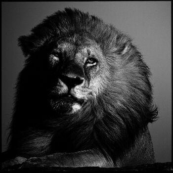 Photo Lion in the Twilight - Laurent Baheux
