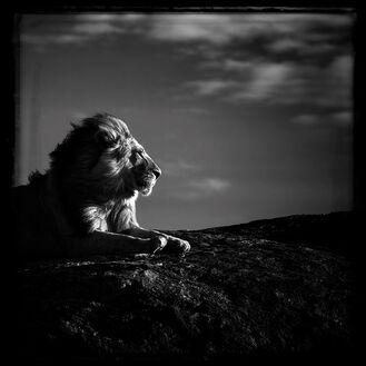 Lion en son royaume