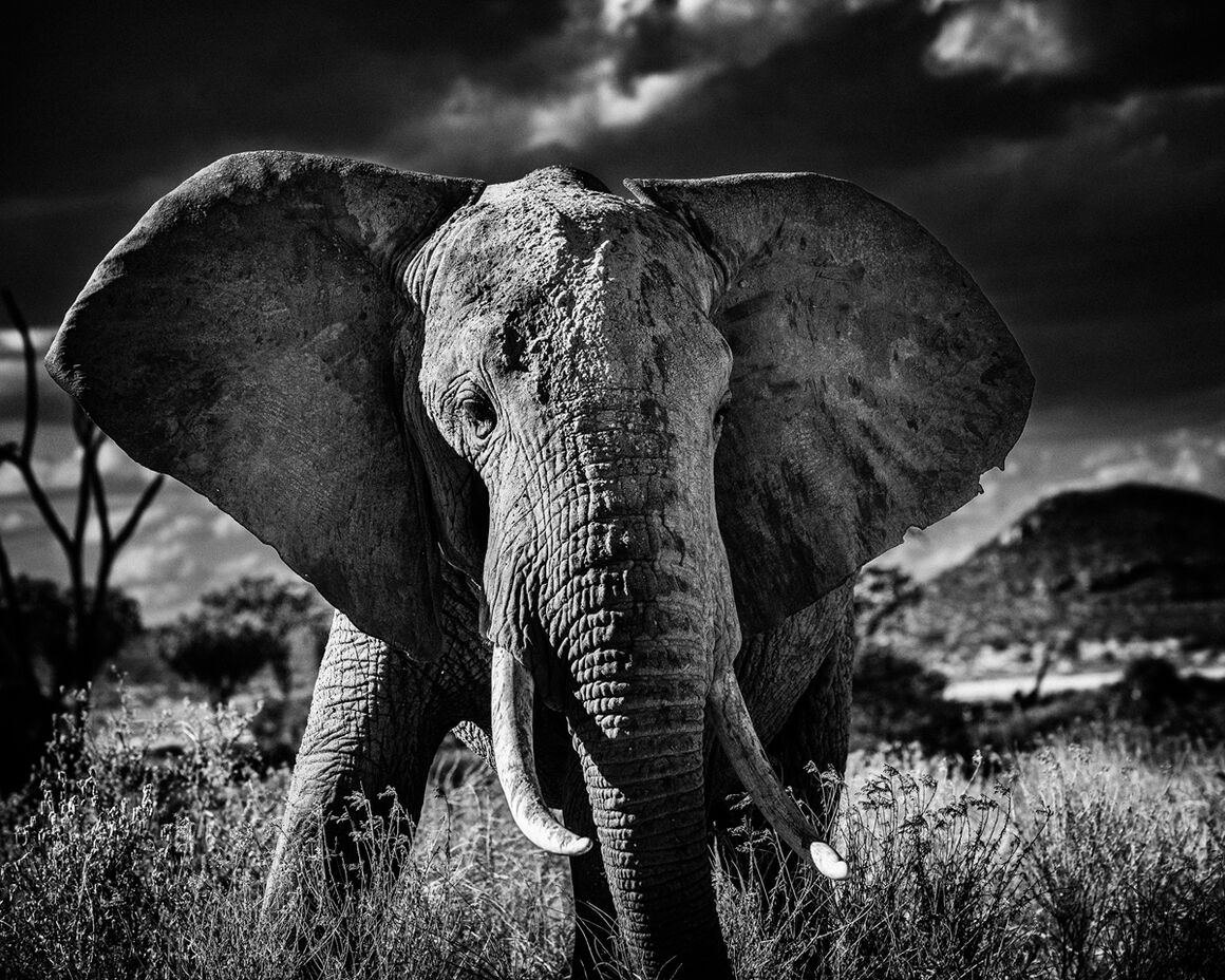photograph elephant curieux ii laurent baheux yellowkorner. Black Bedroom Furniture Sets. Home Design Ideas