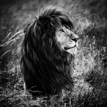 Photo THE BLACK MANED LION 1 - Laurent Baheux