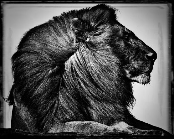 Photo CRINIÈRE DE LION - Laurent Baheux