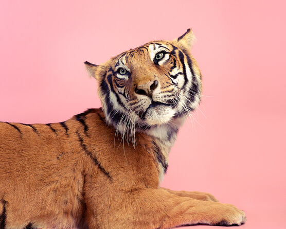 Photo CANDY TIGER - Guillaume Dutreix