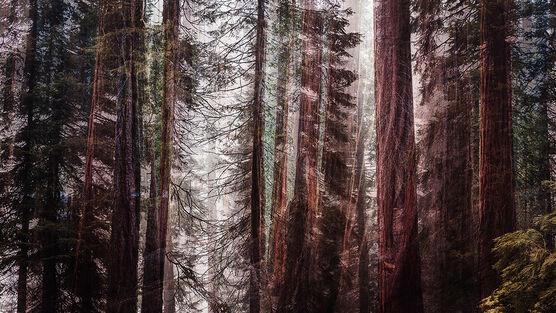 Photo GIANT FOREST II - Laurent Dequick