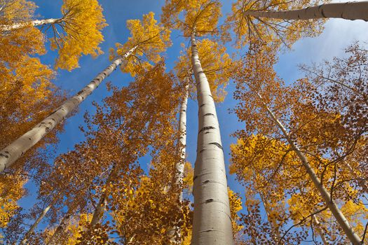 Photo GOLDEN ASPEN CANOPIES II -  John Eastcott et Yva Momatiuk