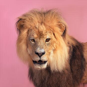 Photo PINK LION - Guillaume Dutreix