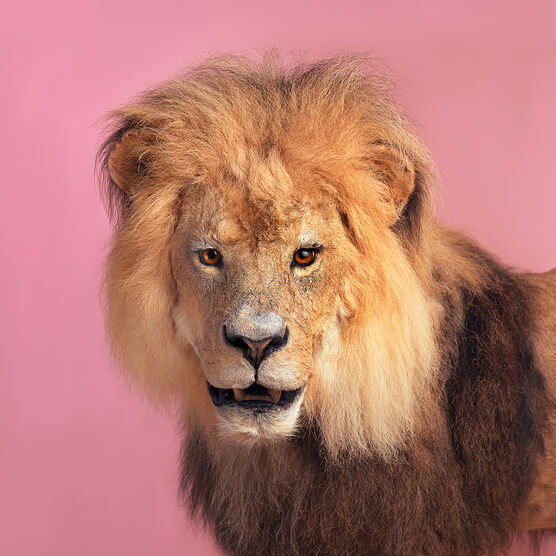 Photo PINK LION - Guillaume Dutreix