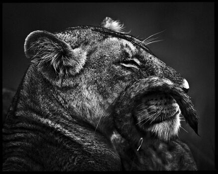 Photo Moustache de lionne - Laurent Baheux