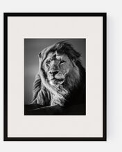 Lion in the Wind V