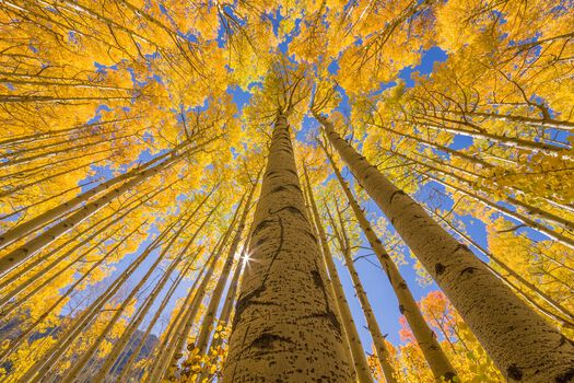 Photo GOLDEN ASPEN CANOPIES I -  John Eastcott et Yva Momatiuk