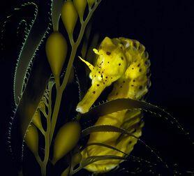 Photo Seahorse with Giant Kelp - David Hall