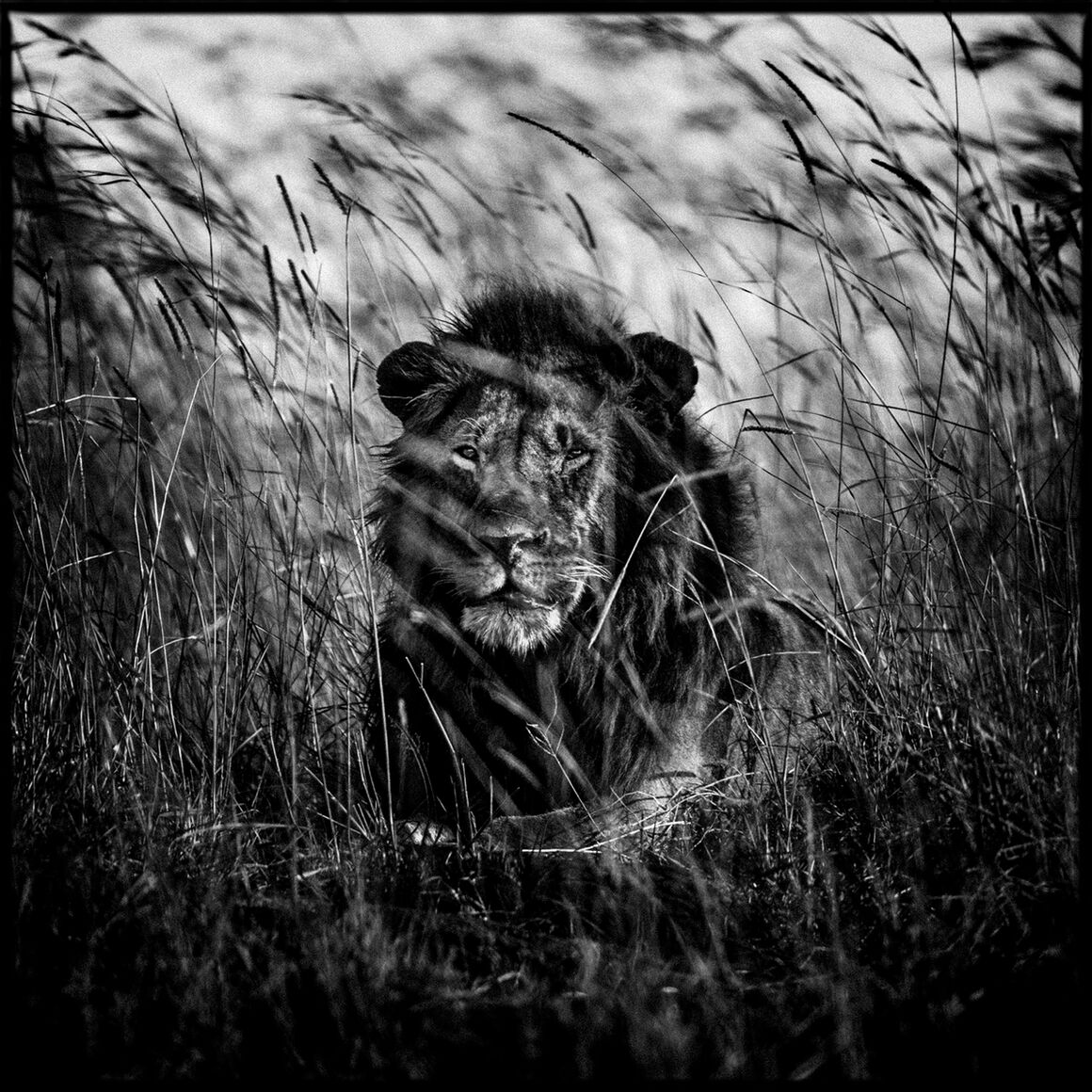 Photo lion in the grass ii laurent baheux