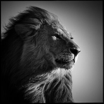 Photo Lion in Compliance - Laurent Baheux