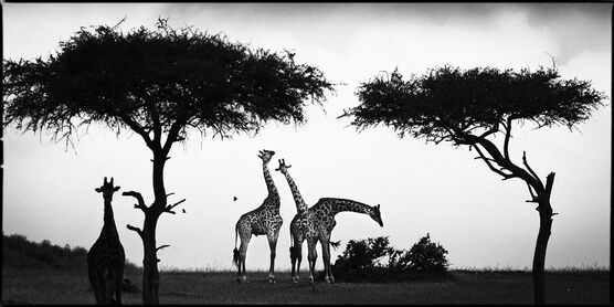 Photo Girafe Between Trees - Laurent Baheux