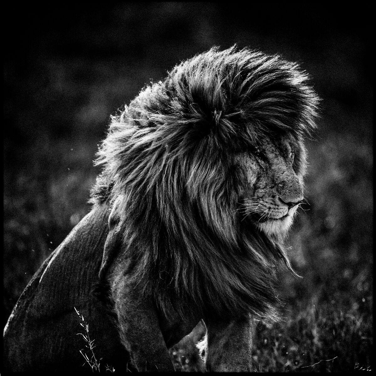 Lovely Lion Noir Et Blanc #11: Photo Lion In The Wind 4 - Laurent Baheux