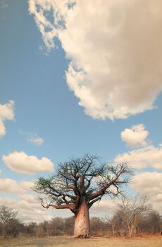Photo Baobab #7 - Klaus Tiedge