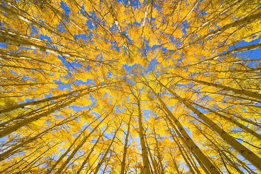 Photo GOLDEN ASPEN CANOPIES -  John Eastcott et Yva Momatiuk