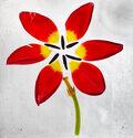 Photo Cuddling tulips - Mina Teslaru