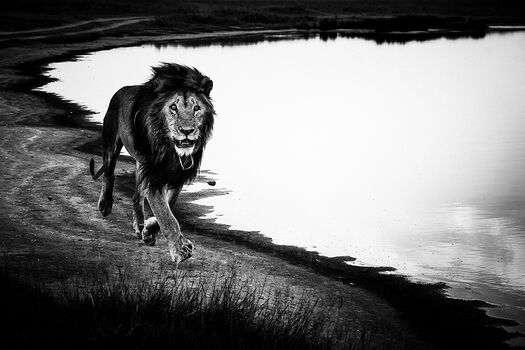 Photo FREE LION IN THE WILD - Laurent Baheux