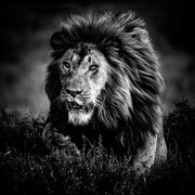 Hunting lion, Tanzania 2015