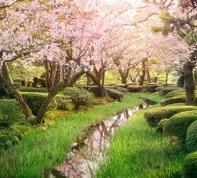 Photo Sakura stream - Nicolas Jacquet