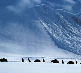 Photo Yak Avalanche - Debra Kellner