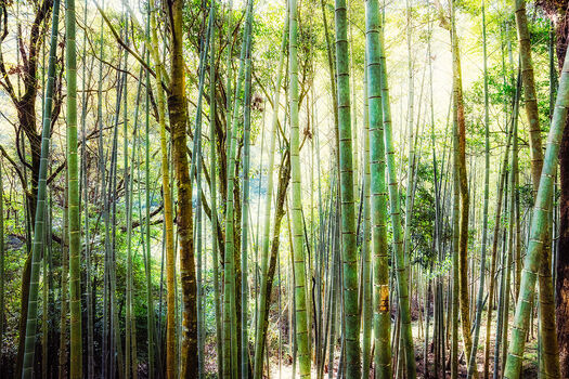 Photo BAMBOO FOREST - Jörg Dickmann