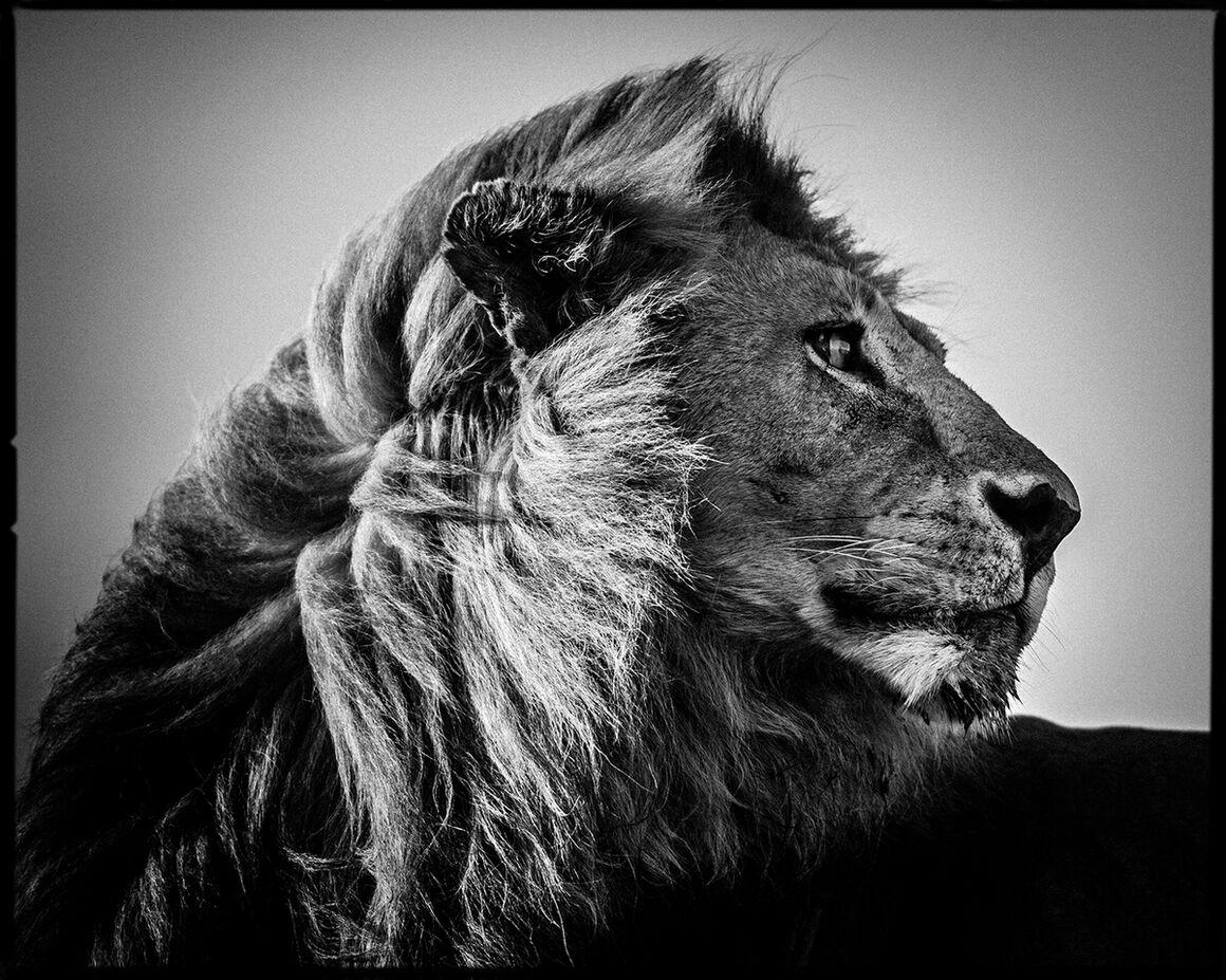 photograph lion in the wind 3 laurent baheux yellowkorner. Black Bedroom Furniture Sets. Home Design Ideas