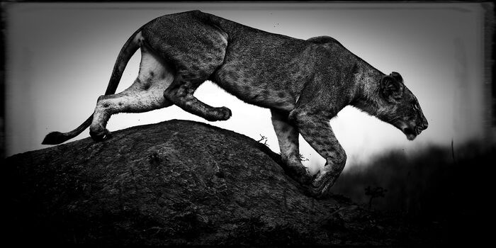 Photo Hunting Lioness - Laurent Baheux