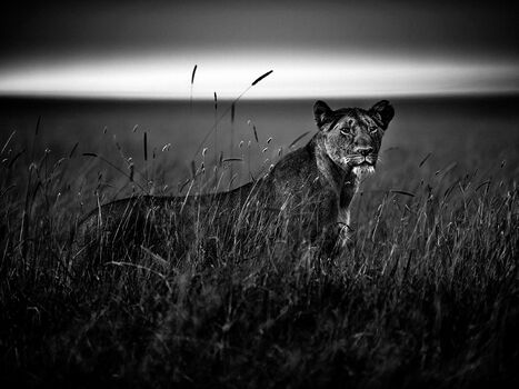 Photo LIONESS IN THE GRASS - Laurent Baheux