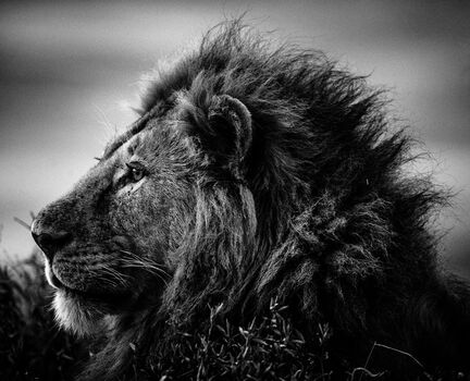 Photo STRONG AND SWEET LION, TANZANIA 2015 - Laurent Baheux