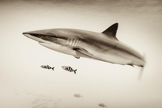 Photo SILKIE SHARK AND PILOT FISH AT SAN BENEDICTO - Christian Vizl