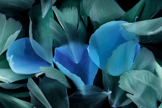 Photo Pétales de roses - Michel Gantner
