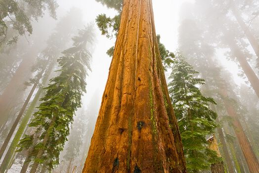 Photo SEQUOÏA IN FOG -  John Eastcott et Yva Momatiuk
