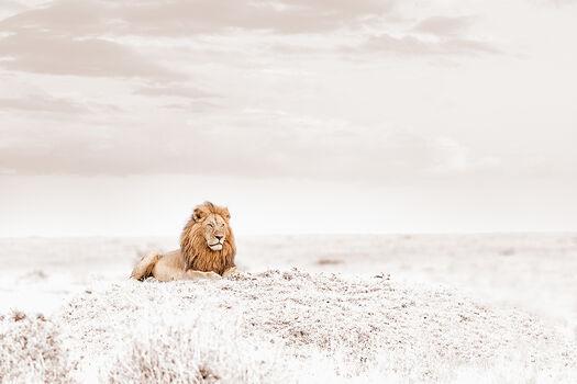 Photo OBSERVING LION - Klaus Tiedge