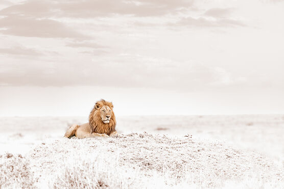 Photo OBSERVING LION - Klaus Tiedge