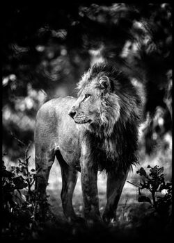 Photo Contemplative Lion - Laurent Baheux